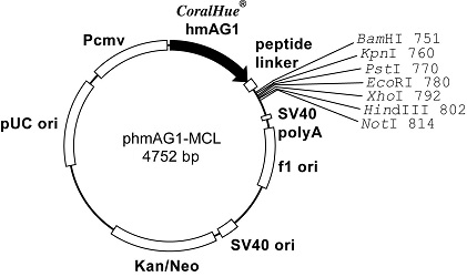 Plasmid map of phmAG1-MCL
