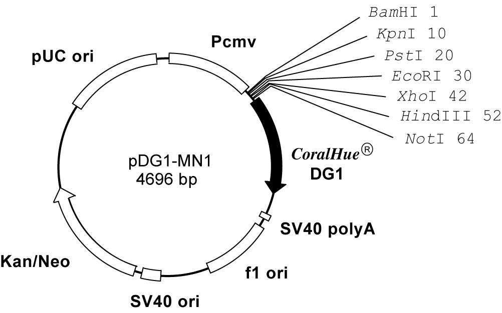 Plasmid map of pDG1-MN1