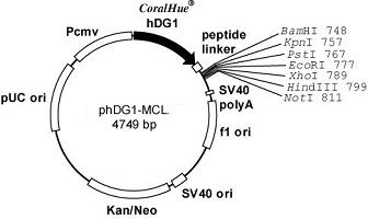 Plasmid map of phDG1-MCL
