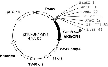 Plasmid map of phKikGR1-MN1