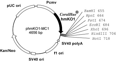 Plasmid map of phmKO1-MC1