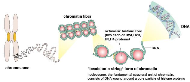 autoantibodies recognizing chromatin related antigens