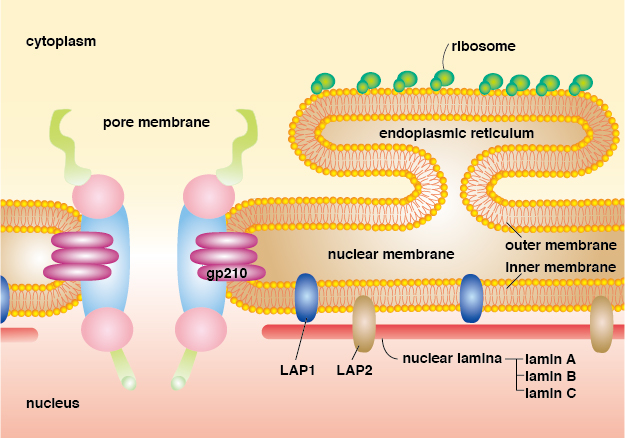 Autoantibodies recognizing nuclear membrane related antigens ...