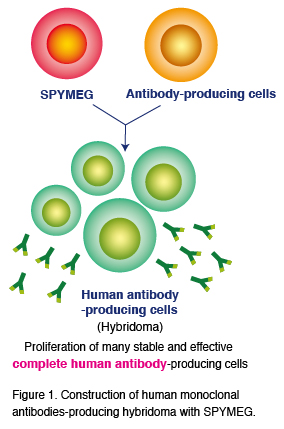 Figure 1. Construction of human monoclonal antibodies-producing hybridoma with SPYMEG.