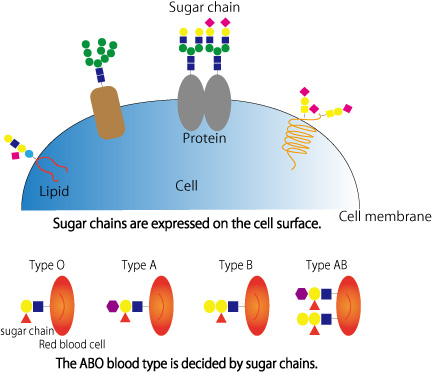 What Is Sugar Chain Research And Development Mbl Medical